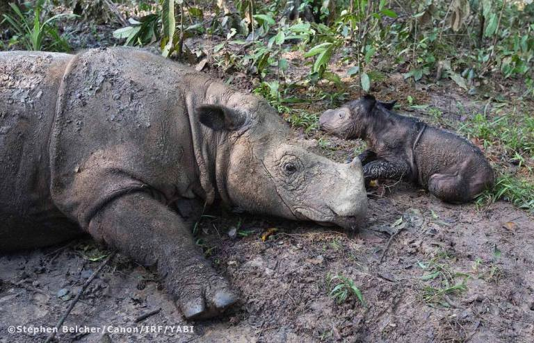 Courtesy: International Rhino Foundation