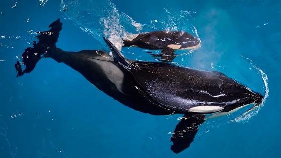 SeaWorld welcomes its 'historic' final birth in captivity of a killer whale