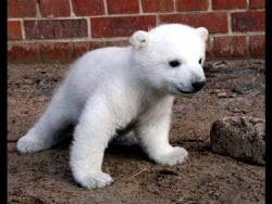 Knut as a baby