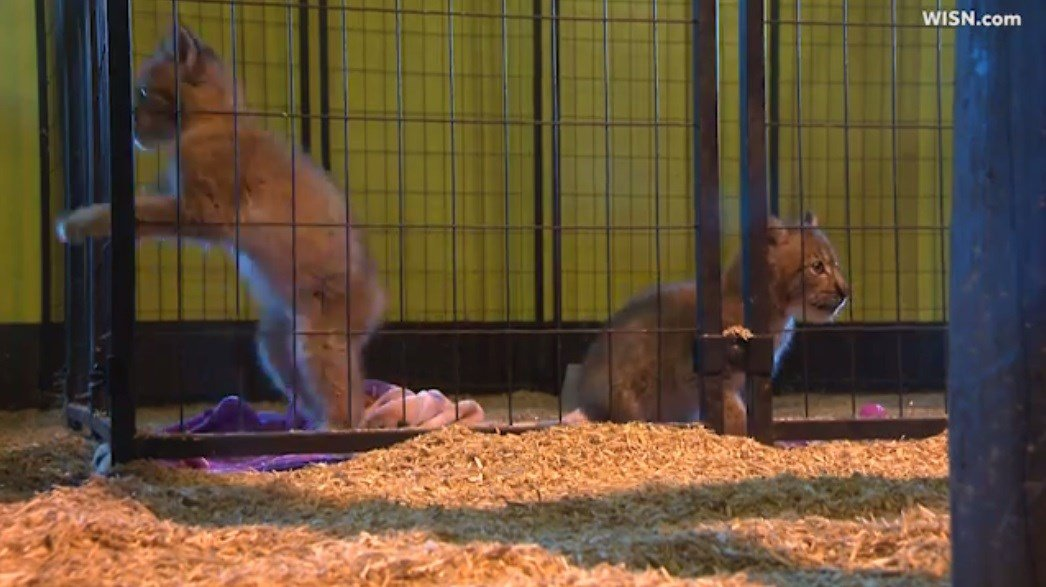 Petting zoo says pair of baby Siberian lynx stolen