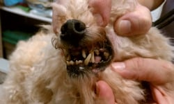 Picture shows lack of dental care in puppy mill dog
