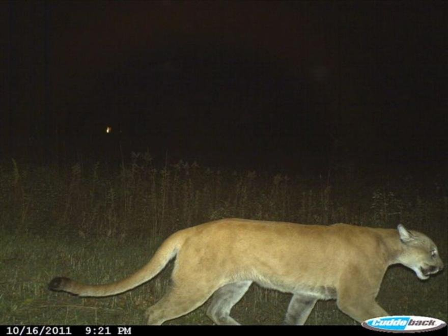 Photo of cougar taken 10/16/11