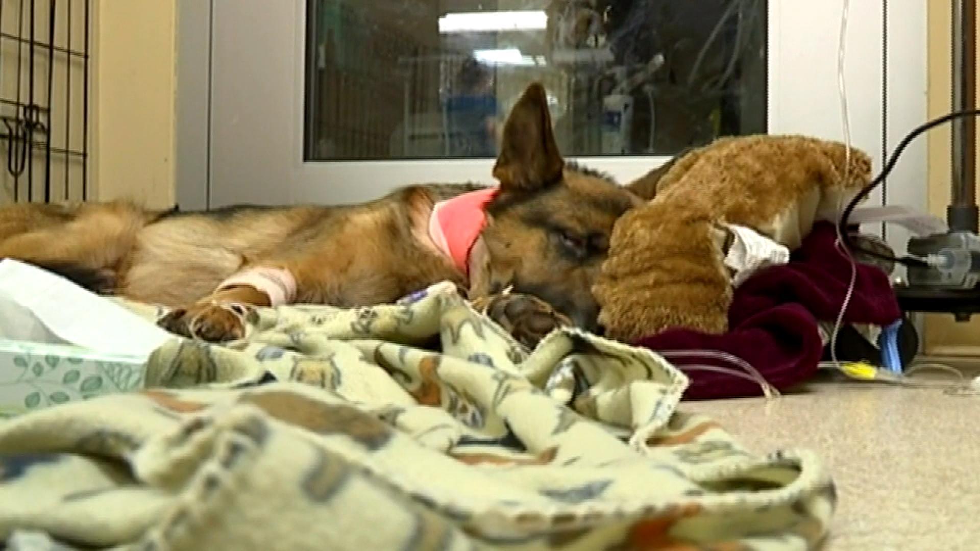 German Shepherd Shot Three Times While Protecting Teenage Owner From Burglars