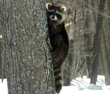Raccoon file photo