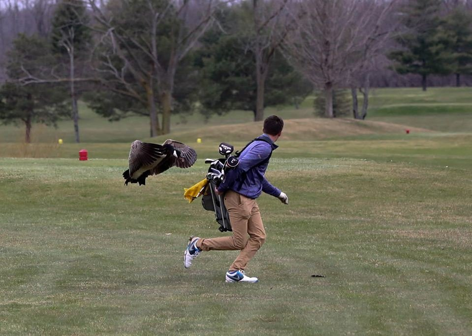 Goose levels MI golfer, reasserting dominance over all humankind