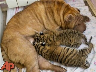 In this picture taken, Monday, June 4, 2012, Shar Pei dog Cleopatra feeds two baby tigers in the Black Sea resort of Sochi, southern Russia. (AP Photo/Igor Okunin)