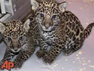 This Dec. 16, 2012 photo shows two baby jaguar cubs born at the Milwaukee County Zoo in November. (AP Photo/Milwaukee County Zoo)