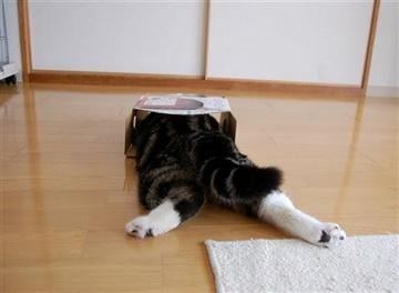 (AP Photo/mugumogu). In this April 2008 photo provided by mugumogu, Scottish fold Maru lies down as he dives in a cardboard box in Japan.