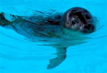 (AP Photo/Rodrique Ngowi). In this Wednesday, March 27, 2013 photo, an 8-month old female harbor seal, known as Pup 49, swims in a pool at Mystic Aquarium in Mystic, Conn.