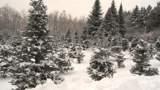 xmas trees2.jpg