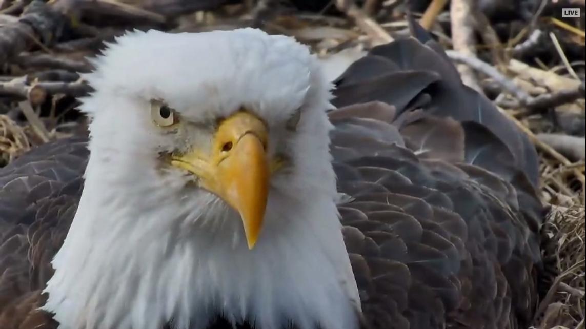 Decorah Eagle Cam - WQOW TV: Eau Claire, WI NEWS18 News ...