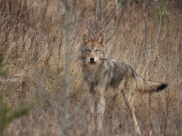 wolf management in wisconsin essay Reintroducing the gray wolf in the u here is an historical overview of wolf management case histories in the us and canada working from aldo leopold's essays.