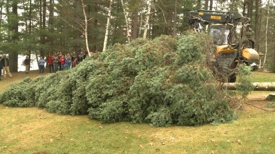 Capitol Christmas Tree Cut Down In North Central Wisconsin WAOW  - Christmas Trees To Cut Down